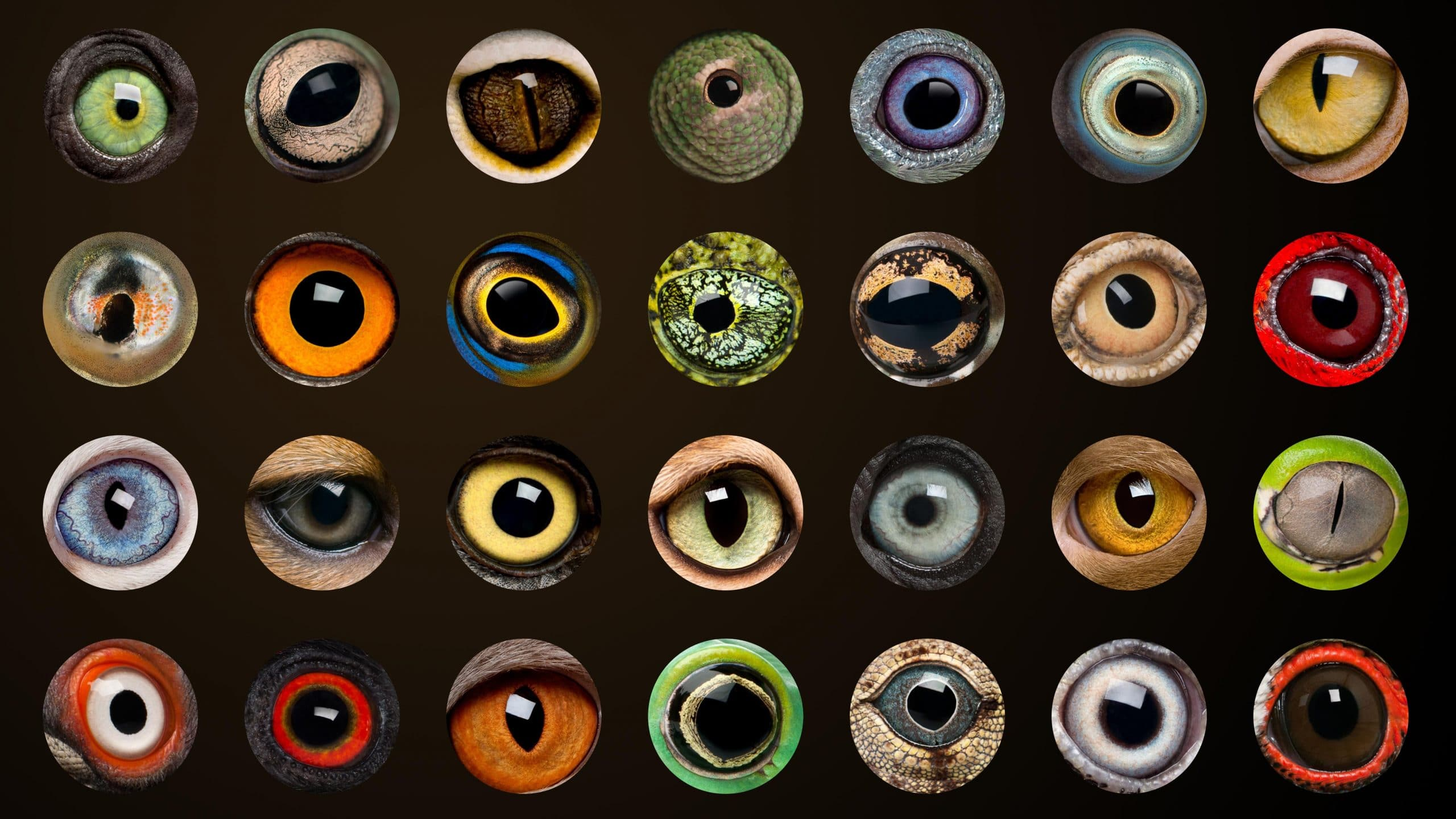 Composition of Animal eyes